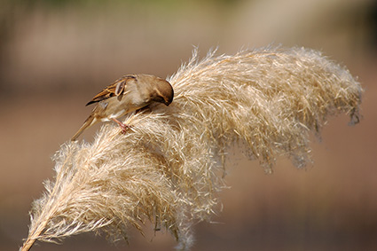 Sparrow_PampasGrass_4058
