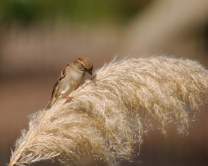 Sparrow_PampasGrass_4059