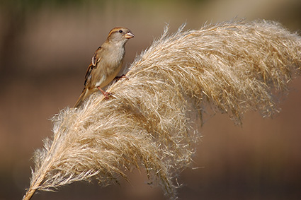 Sparrow_PampasGrass_4062
