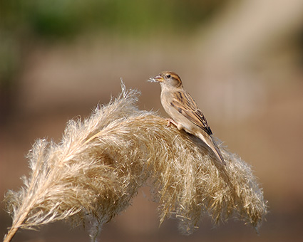 Sparrow_PampasGrass_4065