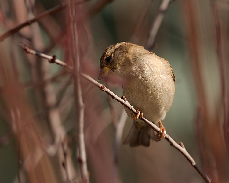 Sparrow_inWillows_9230