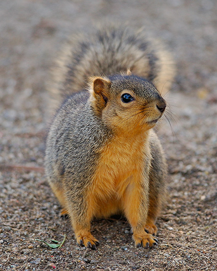 Squirrel_9318