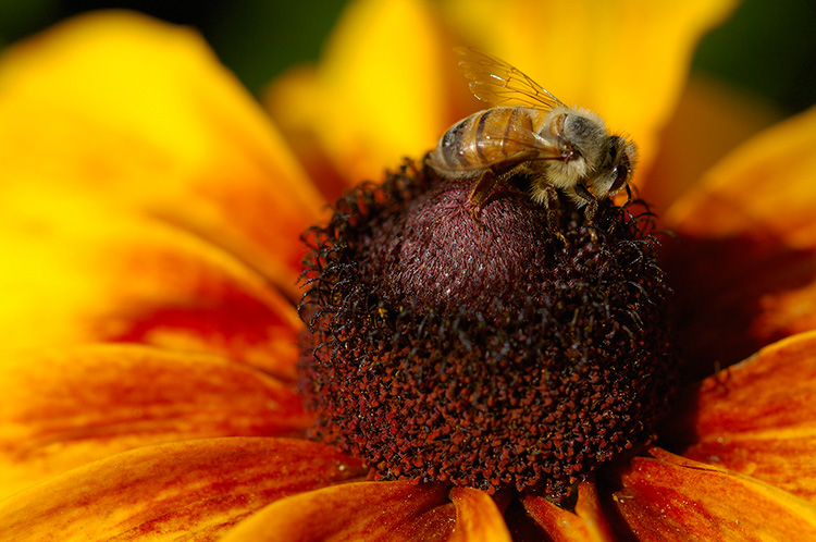 BlackEyed_Susan_withBee_X4844