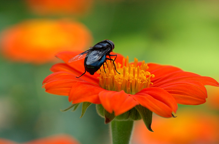 BlackFly_onTithonia_2364