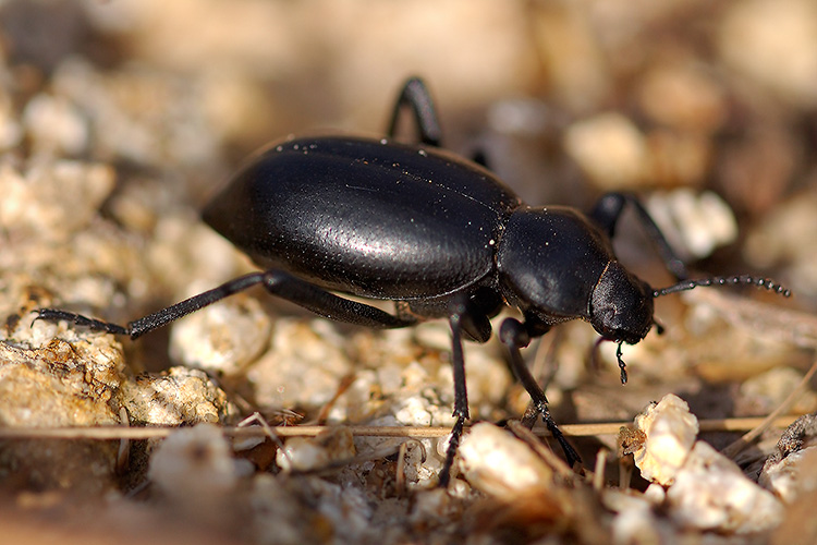 Black_Ground_Beetle_5579