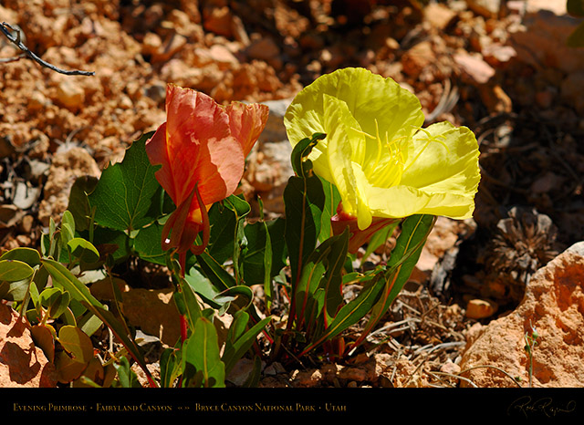 Evening_Primrose_Bryce_Canyon_X1840