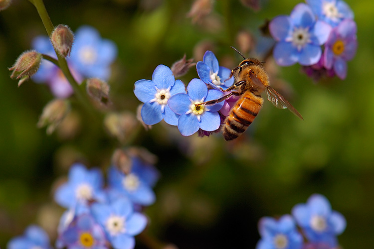 Forget-me-Not_withBee_HS8761