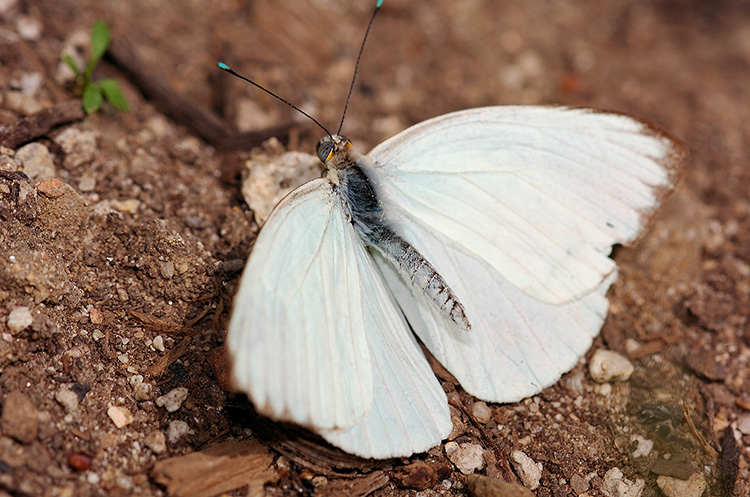 GreatSouthernWhite_HS4316