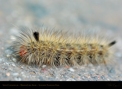 Spiny_Caterpillar_Mirror_Lake_Trail_3995