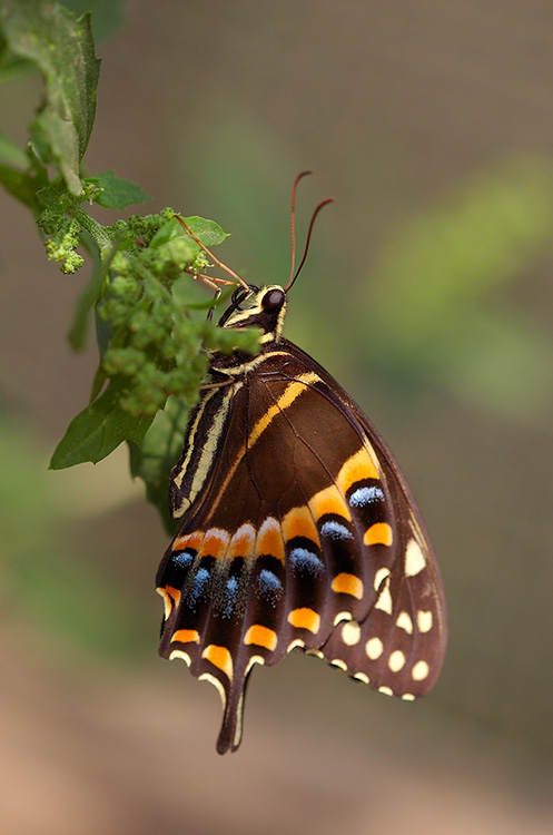 Palamedes_Swallowtail_HS4493
