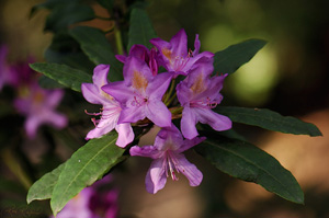 Rhododendron_HS0387