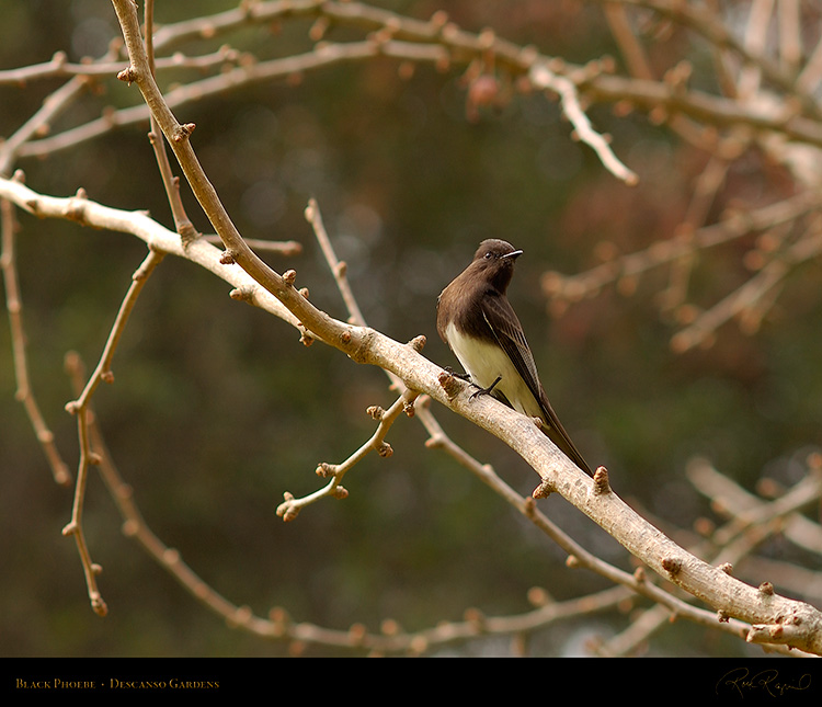 BlackPhoebe_8891M