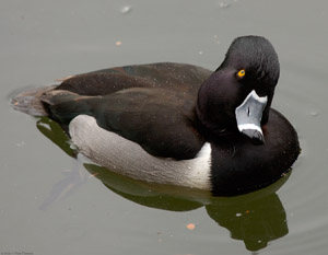 RingNecked_Duck_8925