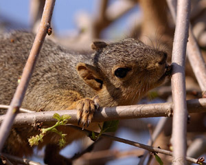 Squirrel_HS0560