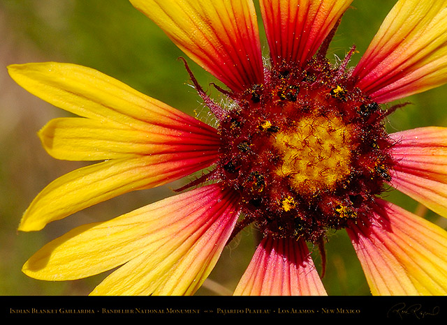 Indian_Blanket_Gaillardia_X5200c
