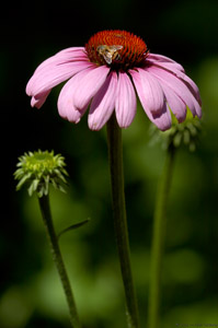 PurpleConeflower_6997