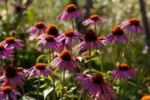 PurpleConeflowers_HS8926