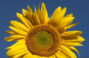 Sunflower_6795