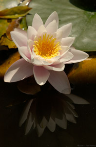WaterLily_0461