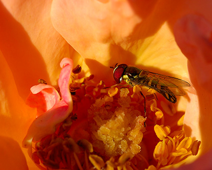 Hoverfly_onRose_9628M