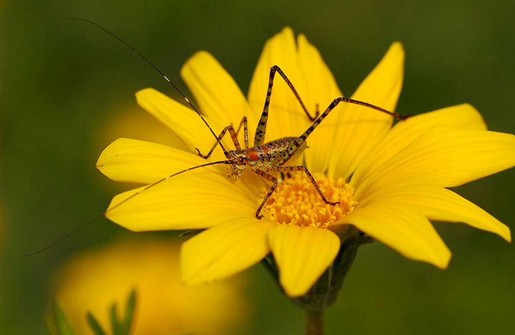 Katydid_Nymph_2470