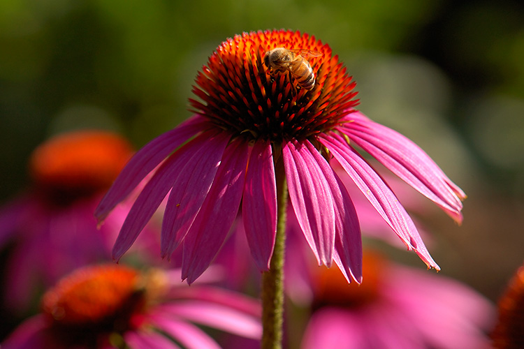 PurpleConeflower_withBee_HS8916