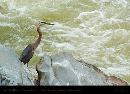 GreatBlueHeron_GreatFalls_4915