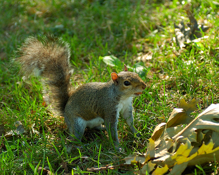 Squirrel_US_Capitol_5146M