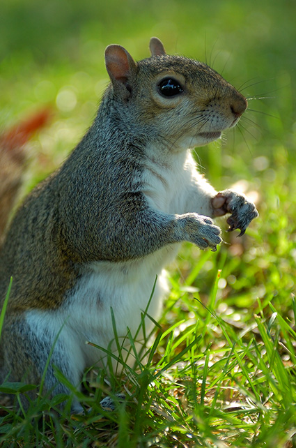 Squirrel_US_Capitol_5161