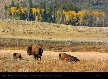 Bison_LamarValley_0711