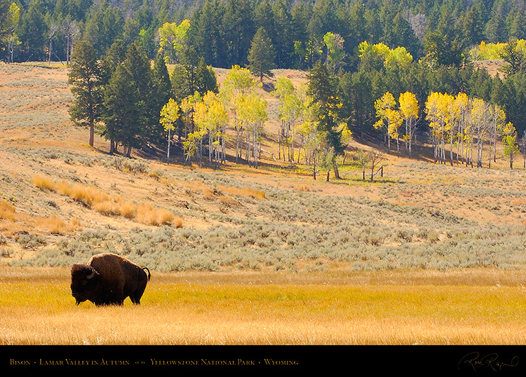 Bison_LamarValley_9926