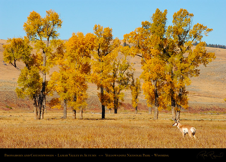 Pronghorn_LamarValley_0584