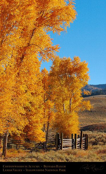 RoseCreek_Cottonwoods_LamarValley_0499