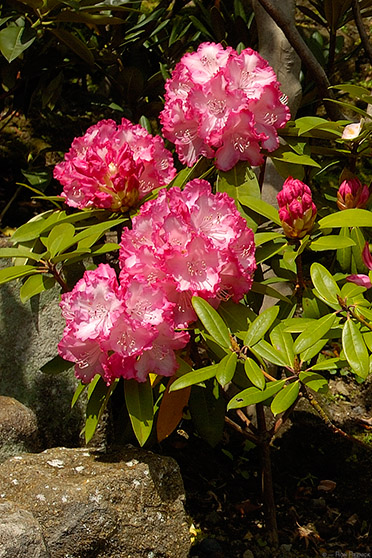 Hasedera_Rhododendron_0719