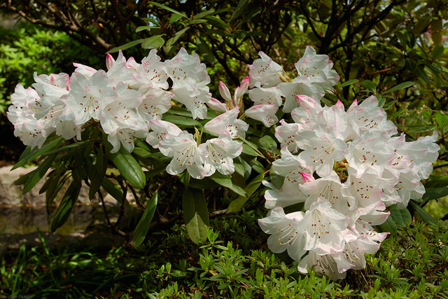 Hasedera_Rhododendron_0721