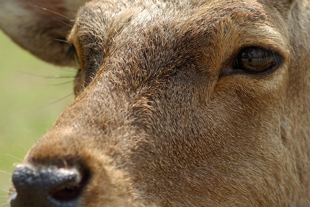 NaraPark_Deer_ClosePortrait_9802