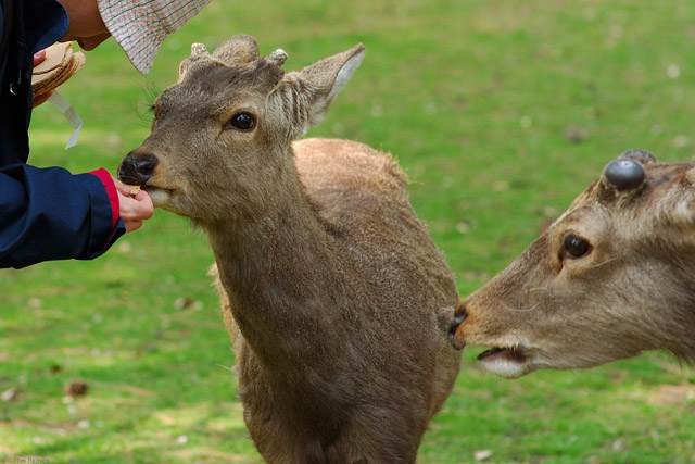 NaraPark_Deer_Crackers_9749
