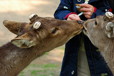 NaraPark_Deer_Crackers_9754