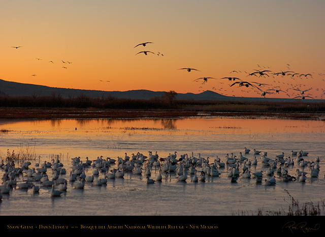 Bosque_Snow_Geese_at_Dawn_5499