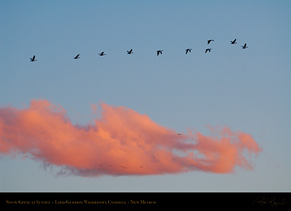 Ladd_Gordon_Snow_Geese_at_Sunset_X6466