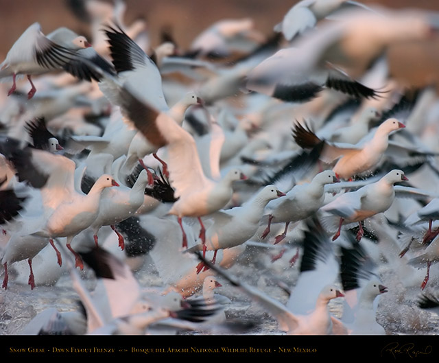 Snow_Geese_Flyout_Frenzy_2316c