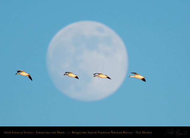 Snow_Geese_Moon_X4031