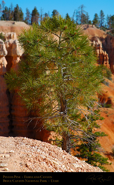 Bryce_Canyon_Pinyon_Pine_Fairyland_X1852