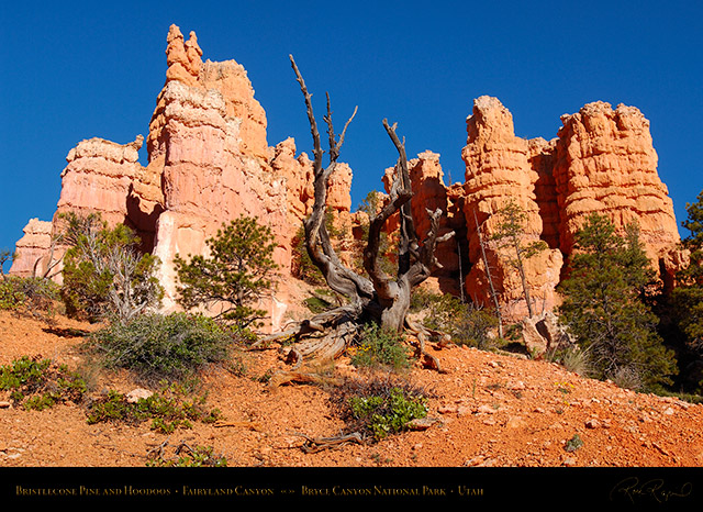 Bryce_Canyon_Bristlecone_and_Hoodoos_in_Fairyland_X1823