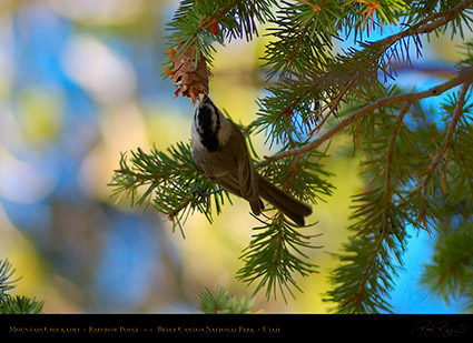 Mountain_Chickadee_Bryce_Canyon_0533