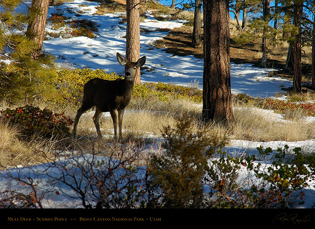 Mule_Deer_Bryce_Canyon_5428