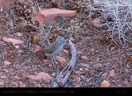 Juniper_Titmouse_Capitol_Reef_1368