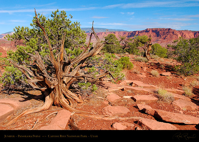 Juniper_Panorama_Point_Capitol_Reef_5791
