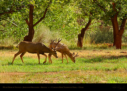 Mule_Deer_in_Velvet_Capitol_Reef_7253