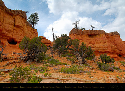 Red_Canyon_Junipers_Arches_Trail_X2309